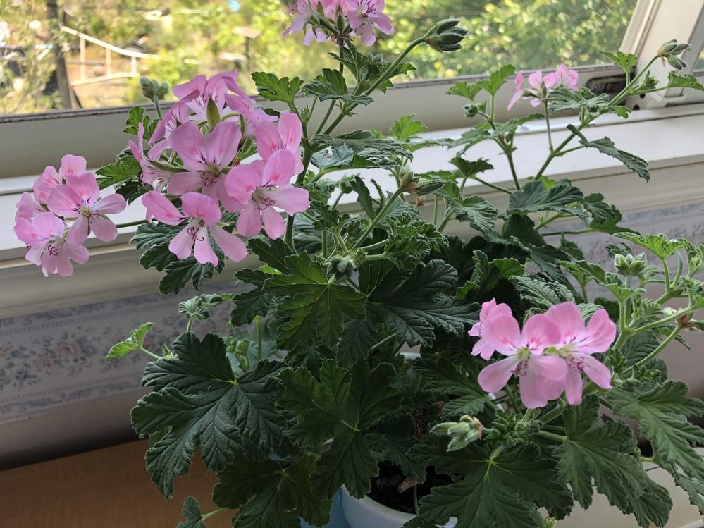 この花はなんという植物でしょうか?? ホームセンターに売っていましたが、 名前はありませんでした、