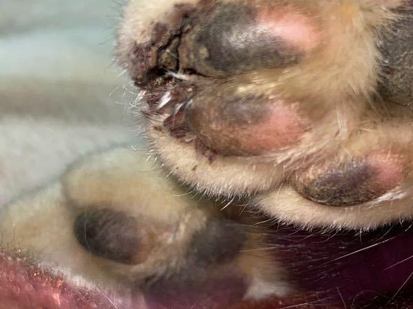 これは、病院に行った方がいいですか? 外飼い猫です。 爪が折れてる?のか、土が詰まっているのか、汚くなっています。触ると嫌がり、ニ゛ァ゛ーンと痛そうな声で鳴きます。 親に言ってもオロナイン塗っときゃ治るわ❗と言われてしまいます。やっぱり病院にいったほうがいいですよね……?