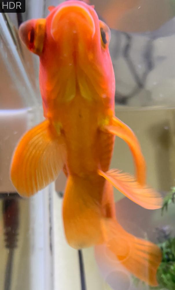 飼っている金魚の目がとても腫れています。 治してあげたいです。 治療法を教えてください。