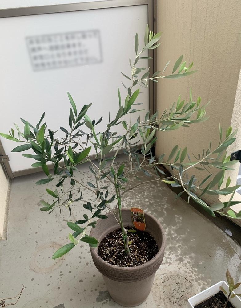 オリーブのコレッジョラを鉢植えで育てているのですが、最近枝が垂れてきてしまいました。 花は咲いているのですが元気がないという事なのでしょうか? 幹には購入当初から支柱があったのですが、垂れてしまっている枝にも支えがいるのでしょうか? 一緒に育てているレッチーノは元気です。 調べてもいまいち良い方法がわからないので、どなたか詳しい方教えてください。