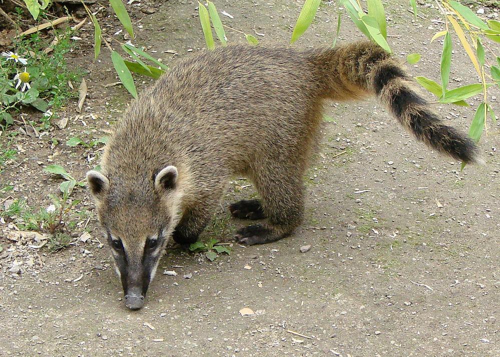 先ほど家の近くで鼻が長くて尻尾がシマシマの動物が走っていくのを見ました。 調べたら写真のアカハナグマという動物だと思います!住宅街でこの動物がいることはあり得るのでしょうか??