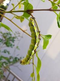 この幼虫の名前を教えてください。 庭のシマトネリコに8cm程の幼虫がいます。 スズメガの幼虫だと思いネットで調べましたが似た模様の幼虫を見つけられません。 ご存じの方がいらっしゃいましたらご教授お願いします。 ちなみに虫嫌いではないのでしばらくは成長を見守るつもりです。