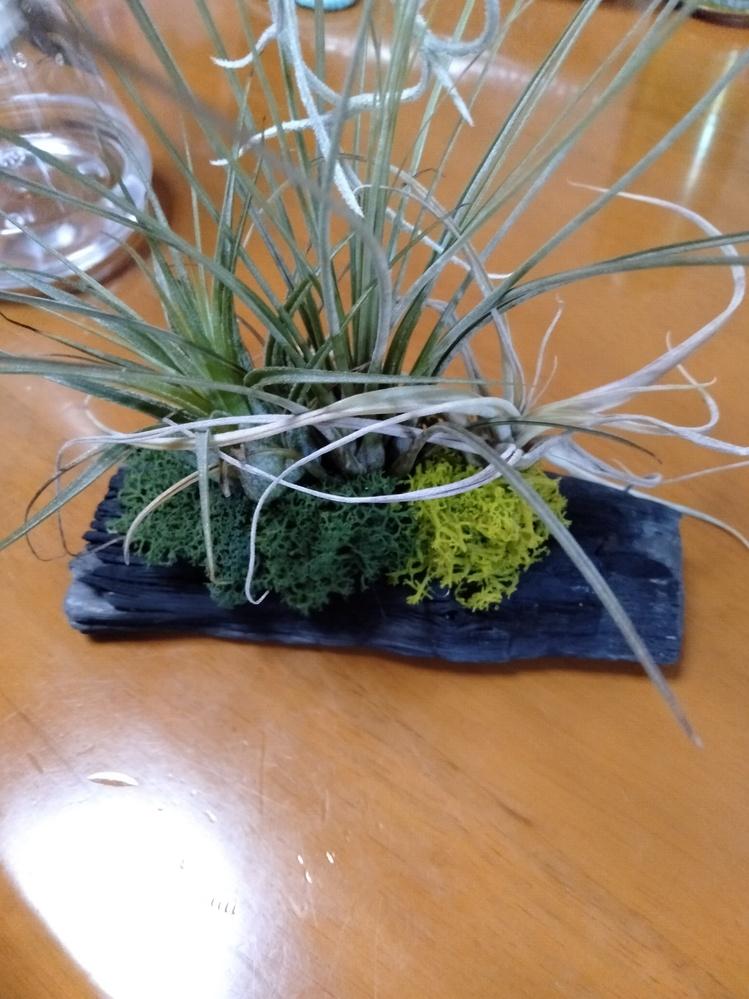 花一つ育てた事のない初心者です。 エアプランツの寄植えを頂きました。一番右の子が明らかに元気がありません。調べても単体のお手入れ方法ばかりで霧吹きと乾燥と書かれており、寄植えも同じように水やりし...