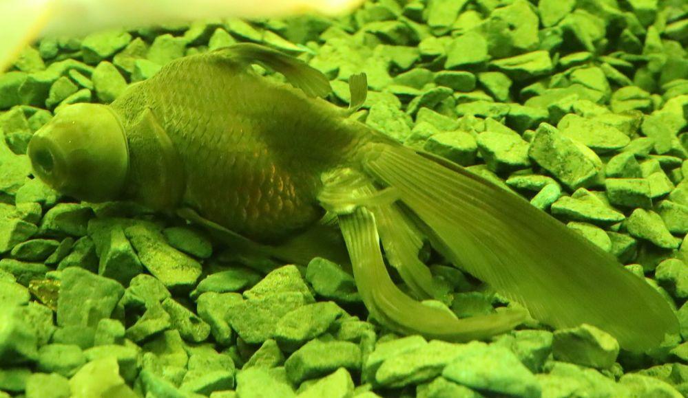 金魚の尾ヒレが白くなってきています。 半年ほど前に尾ヒレの真ん中あたりにやや大きめの白い点が出来ていてツリガネムシやイカリムシを疑い観パラD、グリーンFゴールド顆粒、マラカイトグリーン、メチレンブルーなどをそれぞれ2週間~1ヶ月ほど試しましたが変わりません。 正確には投薬直後は白い点が薄くなったりもするのですがしばらくするとまた元に戻る。最近は放置していましたところ今度は尾ヒレの付け根付近...