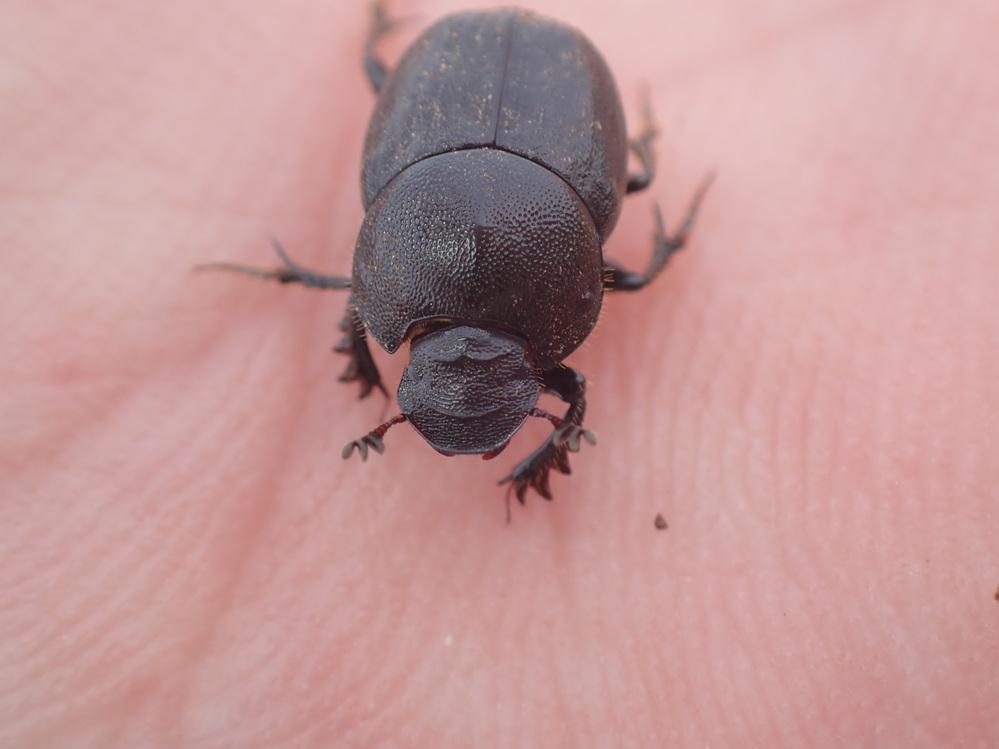 画像の虫はコブマルエンマコガネのメスでしょうか。
