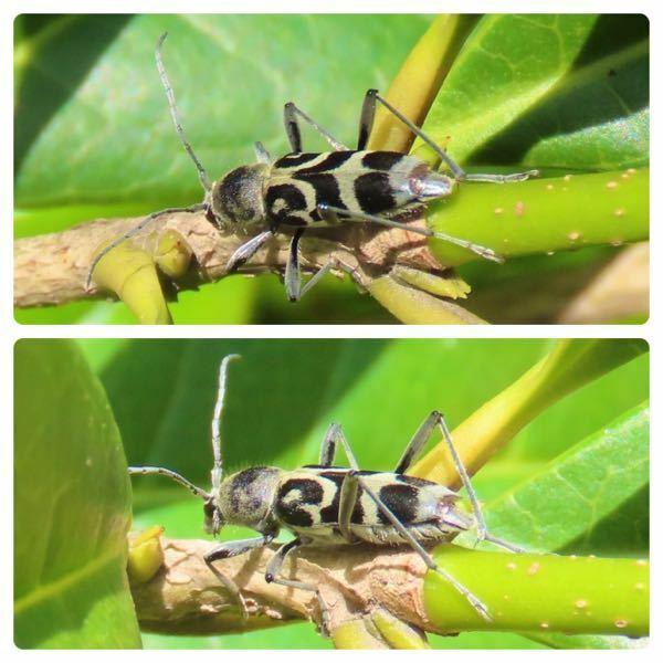 カミキリムシの種類 写真のカミキリムシについて 種類が分かる方、ご教示ください。 昨日福岡県で撮影したものです。