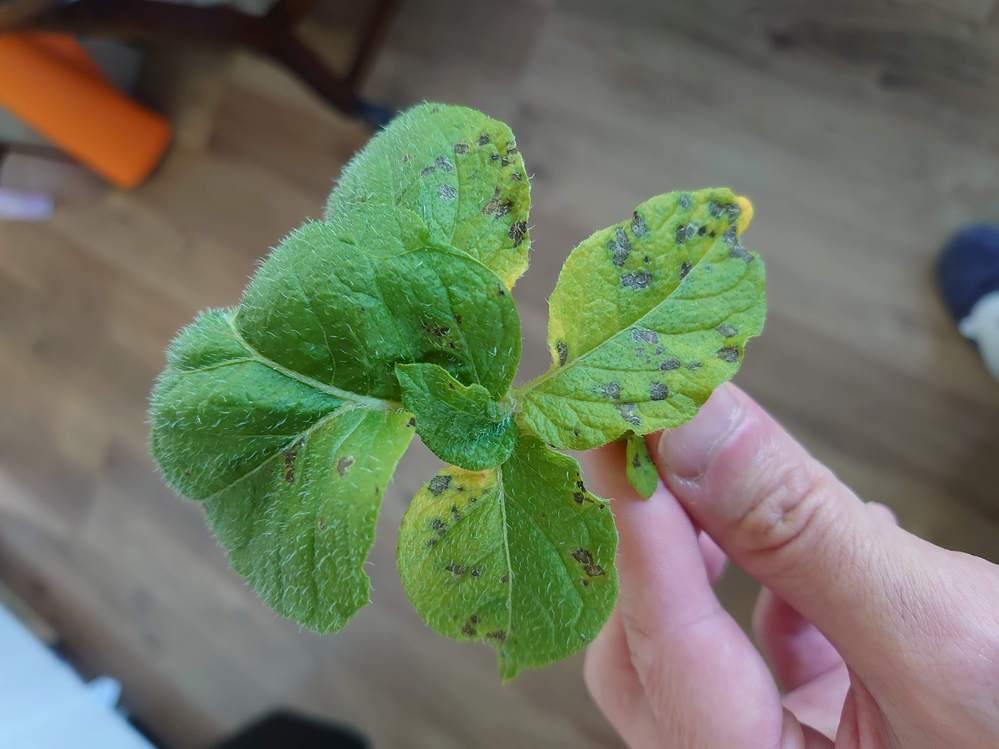 ジャガイモをプランターで育てています。 葉の下の方から、添付の画像のように黒い斑点が広がり始めています。 何かの病気でしょうか、対処方法があれば教えてください。