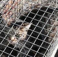 画像の害獣は? 市に設置して貰った畑の害獣捕獲檻に入りました。 アライグマでしょうか。猫よりは一回り大きいですが猫でしょうか。