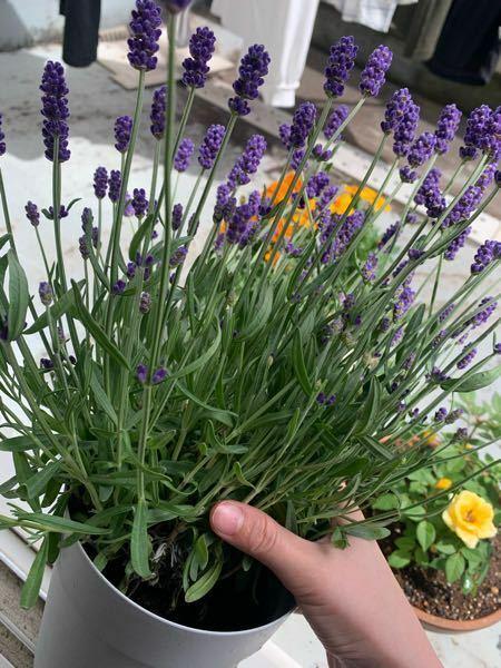 ベランダでラベンダーを育てているのですが、根本が銀色?になってきてしまいました。 これは枯れているのでしょうか? また、購入したままのもので育てているのですがもう少し大きい鉢に植え替えたほうが良いでしょうか? 詳しい方お願いいたします ♀️