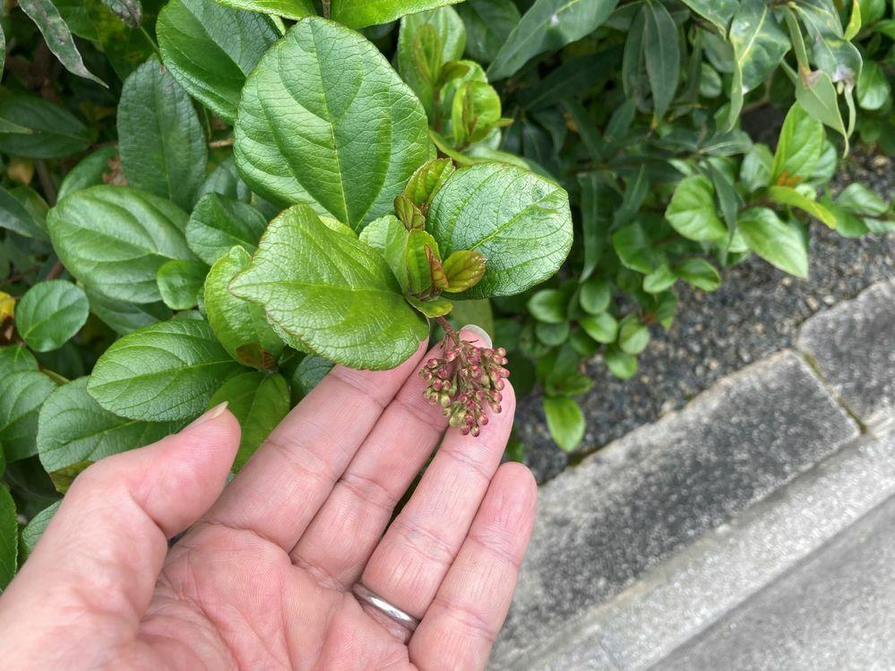 この植物の名前を教えてください。 3月半ばの写真です。茶庭の門の前に植えられていた低木です。 蕾がついていますが、この後少しピンクがかった白い花が咲いていました。 よろしくお願いします。
