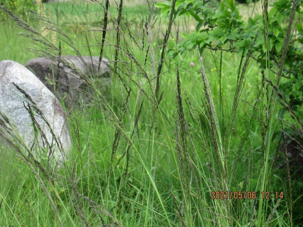 河川敷のチガヤにの植物、何というのでしょうか