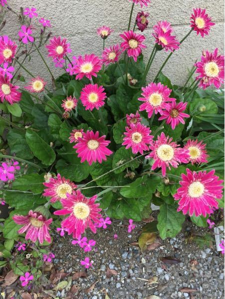 この花はガーベラでしょうか?教えて下さい。
