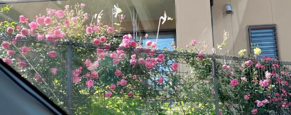 このバラの名前が分かれば教えてください。 四国の香川県の坂出で2件のお宅で同じ品種と思われるバラがこぼれんばかりに咲いてました。 木がそうとう立派なのでそこそこ古い品種だと思います。