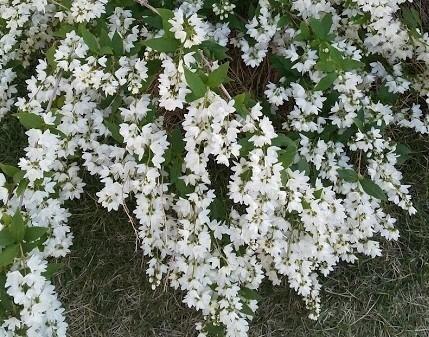この植物の名前を教えていただけにでしょうか。 園芸種だと思います。
