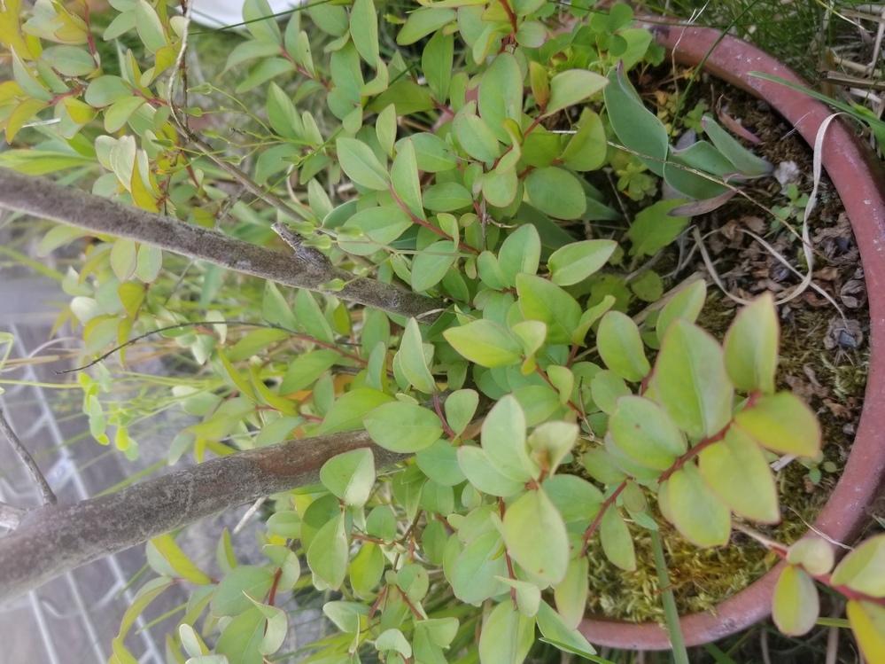 質問させていただきます 前居住者の方が置いていかれた鉢植えなのですが、枯れていると思っていたところ葉がたくさん出てきました。 せっかくなのでお世話したいと思いますが、何の木?葉?なのかわからないため手が出せません。 どなたかわかる方、教えていただけるとありがたいです。 枯れた幹(幹の太さは2センチほどです)と枝が50センチほどの高さまであり、その根元から写真のような葉がたくさん出てます。