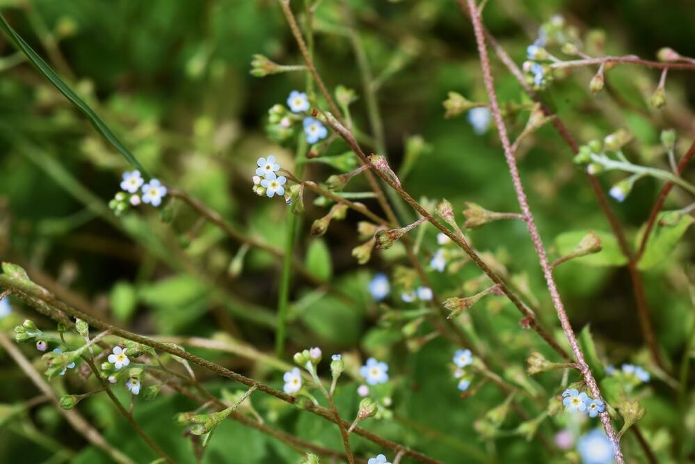 道端に咲いていたこの水色の小花の名前を教えてください。花の大きさは5ミリくらいでしたでしょうか。よろしくお願いいたします。