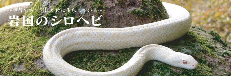 岩国市のシロヘビは、なぜ白さが代々受け継がれているのですか? . この前岩国の白蛇の館に行ってきました、内装がきれいで映像もゴージャスになっており、行ってよかったです。 ですが、あることが記載されていました。 それは、世界にもアルビノと呼ばれる白化個体の白蛇は存在しているけれども、それらは突然変異で生まれるものであり、白さが受け継がれない。 それに対して、岩国の白蛇は代々白さが受け継がれているとのことでした。 どうしてそうなったのでしょうか? もしかして、岩国の人々が古来からありがたり、保護し続けたから、白化個体が生存に有利となって受け継がれるようになったのですかね? それとも、それ以外にも理由があるのでしょうか? 白蛇やアルビノに関心のある方など、ぜひ皆様のご意見をお聞かせください。