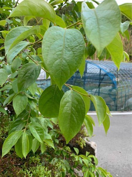 実家の庭の植物なのですが、これは何の葉でしょうか? 植物に詳しい方、よろしくお願いします!