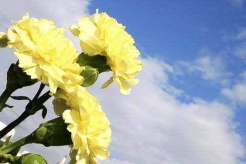 母の日のカーネーション 赤→母への感謝 白→亡き母への感謝 黄色→義母(姑)への感謝 私の母は黄色についてこう主張していますが本当でしょうか? ちなみに母の姑(私の父方の祖母)は故人です。