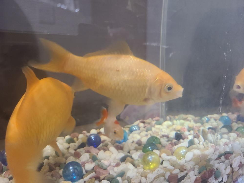 約2年程育てている金魚なのですが 体に赤く(黒く?)小さな点があります。 この1ヶ所のみで他の金魚たちは 特に変わり無いです。 点がある金魚も鱗が剥がれたり ご飯を食べない等の異変もなく 元気に泳いでます。 もし病気だとしたらすぐに治療をしたいのですが分かる方いらっしゃいますか?