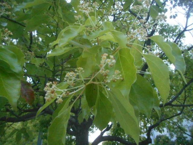 今朝自宅近くで見かけました。 およそ5~10mの木です。 名前をお分かりの方、教えて下さい。