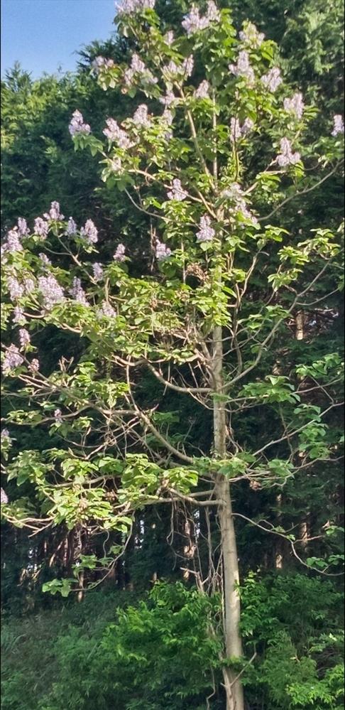 この花 (この木)の名前を教えてください。よろしくお願いします。
