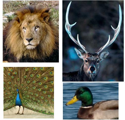 天皇は、日本国の象徴であり日本国民統合の象徴ですが、何故、男系の男子なのでしょうか? それは以下の写真を見れば分かりますよね? ライオン、日本鹿、孔雀、マガモを象徴する写真ですが、全て雄です。 雌にはタテガミも角も美しい羽根も有りません。 ライオン、日本鹿、孔雀、マガモですら、それらの種を象徴する者は全て雄なのです。ましてや人間の天皇が男系男子でなければ成らない事は自明でしょう。 何故なら、ライオン、日本鹿、孔雀、マガモでは雄なのに、人間では何故そうではないのか説明できないからです。 言うまでも無く、人間と言えども、動物に過ぎません。人間と動物とは違うなどと思い上がってはいけません。「それぞれの種を象徴する者は雄に限る」と神様が決められたと言うしか有りません。 その事が、これらの写真によって証明されているのです。人間と言えども神様に逆らってはいけません。 すなわち、これらの写真によって、日本国民の統合を象徴する天皇が、男系男子で成らなければならない事が完全に証明されましたよね?