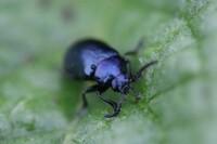 ハムシの仲間だと思うのですが、この虫の名前を教えてください。 ハムシは、よく似た姿の種類がいろいろあって、よくわかりません。 よろしくお願いします。