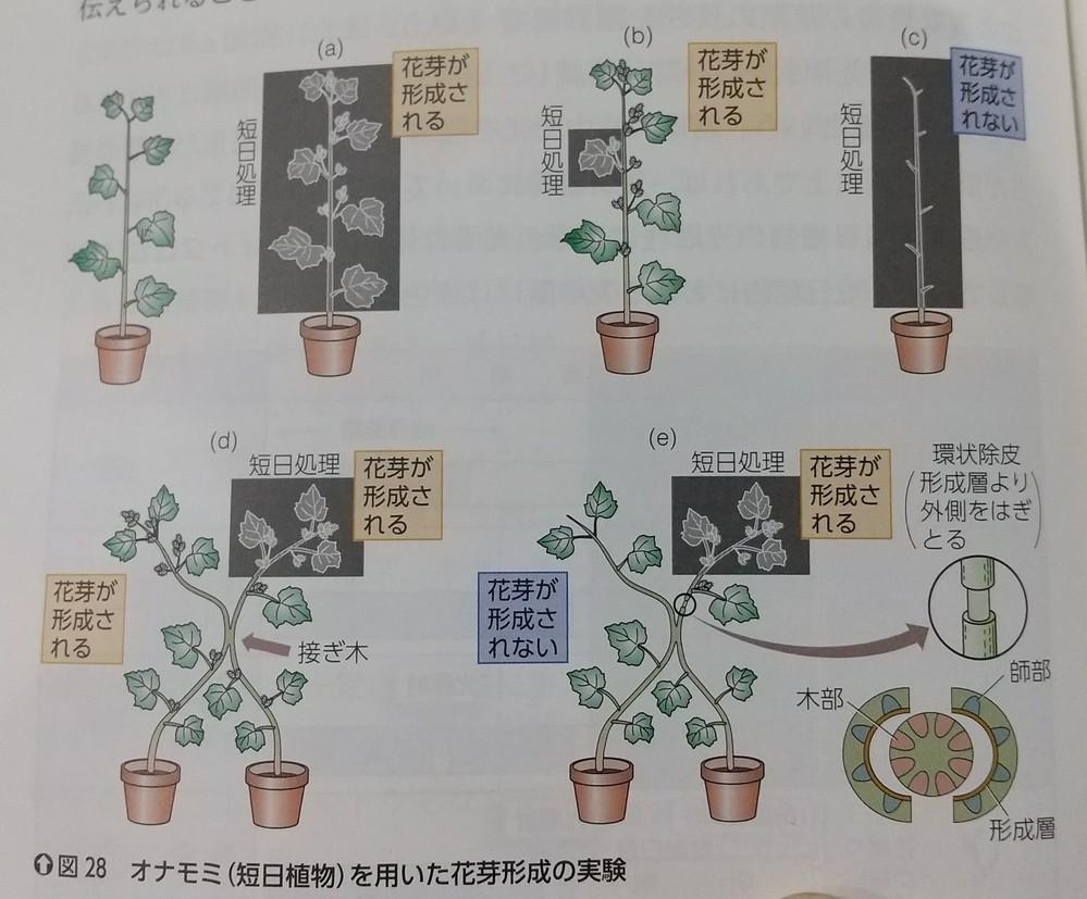 花芽形成対照実験のところです。 接ぎ木をするところのことです。 他の木にも伝わるよ〜ってことだけですか? 「葉が暗期の長さを感知している」 っていうのとのと、 「水溶性の物質を確認する」 のが目的なら接ぎ木はいりませんよね? それか環状除皮は一本の植物だけではできないのですか?