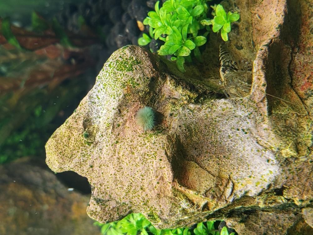 石や流木に5mm程の緑色のコケの様なものが発生してきたのですが、これは何でしょうか?このまま大増殖するのか、、 そんなに汚いものでもないので放置しようかと思いますが、正体不明なので御教授願います。