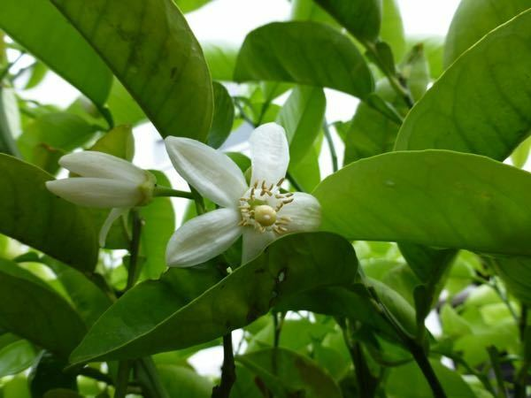 柑橘系だと思うのですが、これは何の木の花でしょうか?