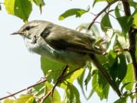 この鳥はなんでしょうか? ホーホケキョと鳴いた後に藪から出て来た様な気がしたので、ウグイスかと思ったんですが、羽根の色が濃く、図鑑で調べた中ではセンダイムシクイの様に思いました。(ただ写真の写り方で濃いめに見えている可能性もあるかと思います)  この鳥の名前と、見分け方のポイントがあれば教えてください。