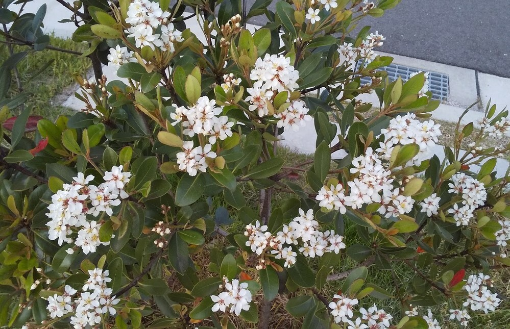 この白い花の名前を教えてくださいませんか。 園芸種と思います。
