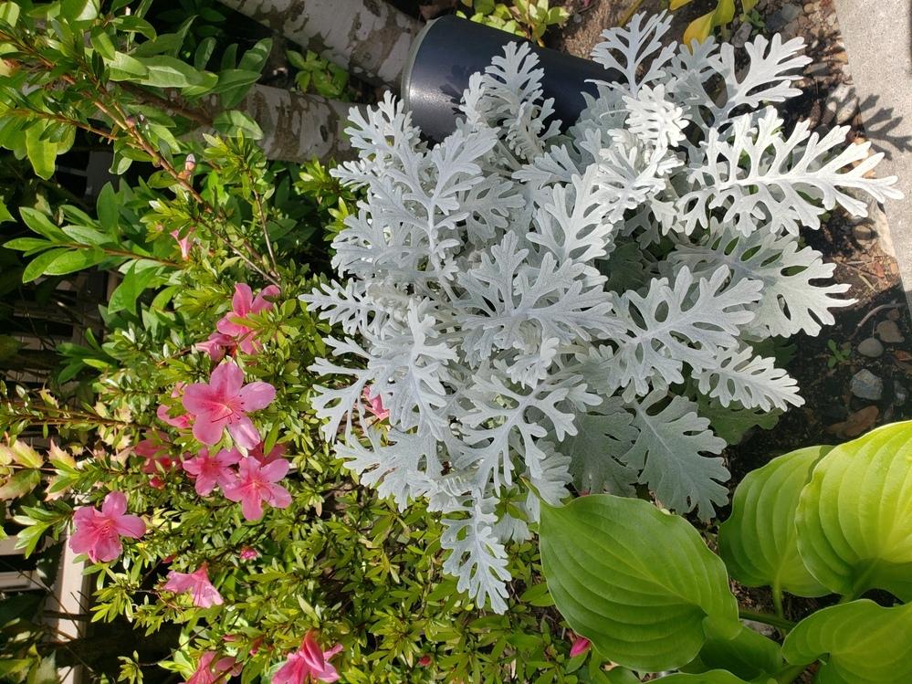 この白っぽい葉っぱ何という名前の植物ですか? 教えてください!
