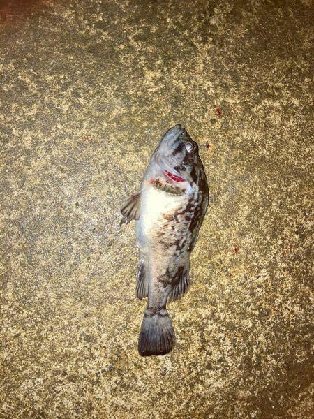 汽水域でシーバス狙ってたら釣れたんですが、なんて言う魚ですか??