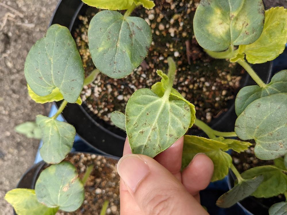 オクラを種から育ててるんですが、子葉に茶色い斑点があります。害虫によるものでしょうか? また、本葉の色がまだらなのですが、これは異常ですか?