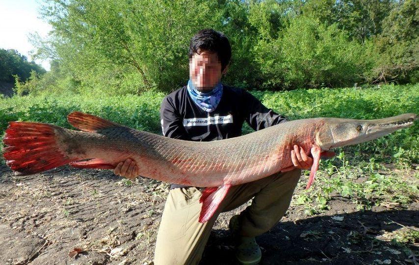 アリゲーターガーにお詳しい方へお伺いをいたします。 ・ アリゲーターガーは、ワニと巨大淡水魚の混血だと考えてよいと思いますが、アリゲーターガーにお詳しい方からのご意見を拝聴できればと思います。