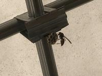 小さい巣があって、一匹の蜂が何かしているのですが、この蜂は何をしているのでしょうか?