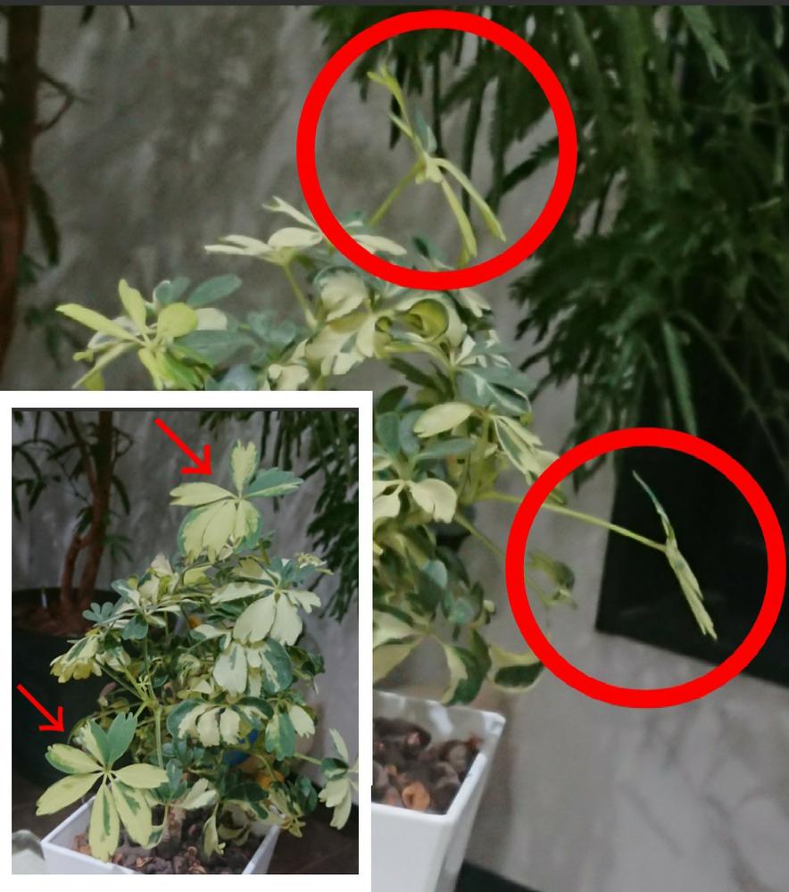 シェフレラ(カポック)のジェニーネ(斑入りレナータ)で教えてください。 春になり新しい葉が出始めたのですが、カールした葉が特徴であるのに、通常のカポックのような平らな葉になります。 これは何か原...