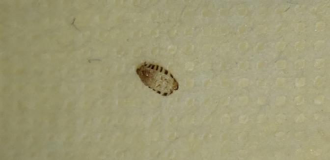 家に落ちてた抜け殻なんですけど これはなんの虫の抜け殻ですか? 大きさは4mmくらいです