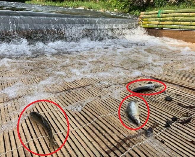 「やな川」をやったことがある方にお伺いをいたします。 ・ あゆ以外にどのような淡水魚が舞い込んできましたでしょうか。