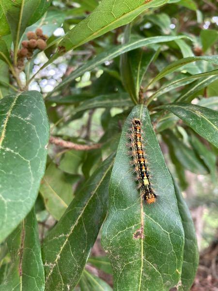 この幼虫の名前を教えていただけますか?