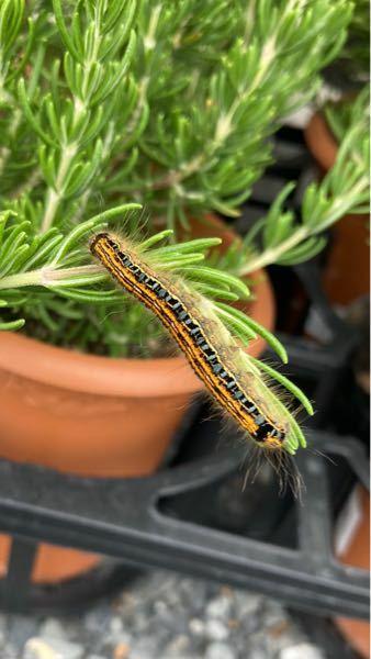 この幼虫の名前を教えてください。 ホームセンターで買ってきたローズマリーについていました。 ベニフキノメイガでしょうか?