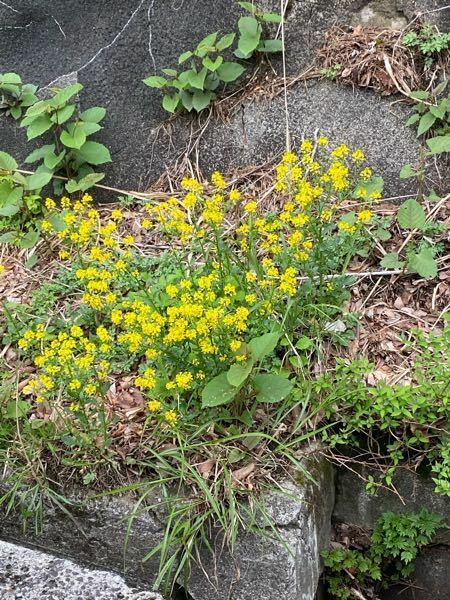 この花は何という花でしょうか? 伊吹山に咲いていました。