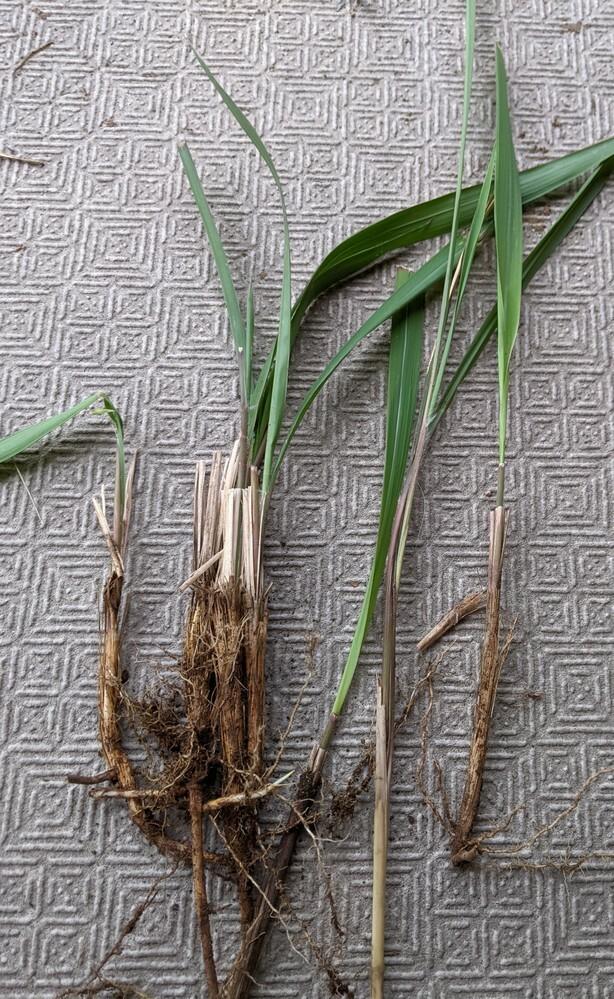 この雑草は何という名前でしょうか? 抜いても抜いてもボコボコでてきてしまいます。深いところで根が縦横無尽に繋がってしまっているような感じです。 20平米くらいの庭なのですが、駆除方法などもご存知でしたらご教示お願いします。