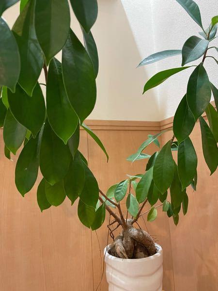 何年か前に頂いた観葉植物です。 鉢が小さくなってきたので植替えようと思うのですが、名前を忘れてしまい植替え方法を調べる事ができません。 何という植物かご存知の方、教えて下さい。 宜しくお願い致します。