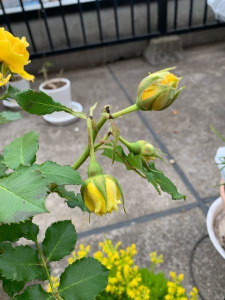 木立バラゴールドバニーです。花が沢山咲きましたが、花や蕾の茎が黒くなっています。屋根のないベランダで育てていますが、虫に食べられた跡のようですが、何の虫が原因か、教えてください。 消毒が必要らしいのですが、市販の消毒スプレーでも宜しいでしょうか?