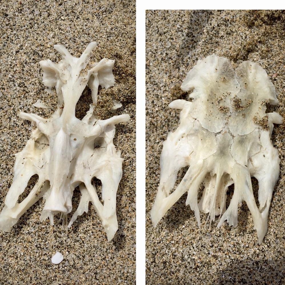 浜辺で見つけました。 見たことがないもので気になるのですが、調べても分かりませんでした。 何の骨でしょうか?