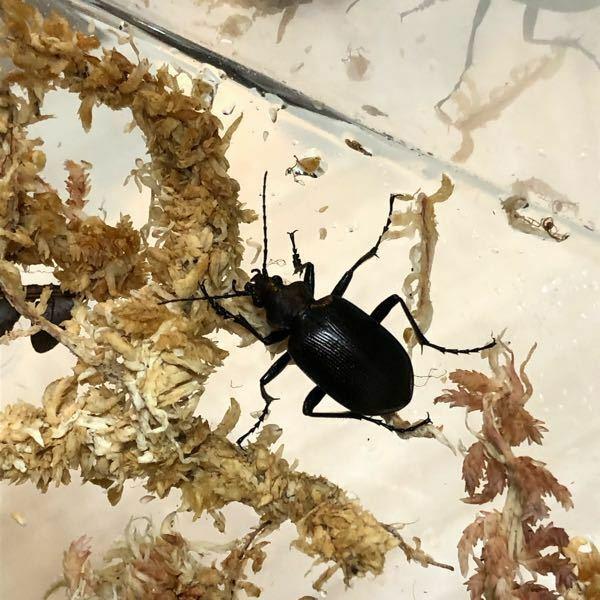 昆虫に詳しい方教えてください。 これは何オサムシですか?