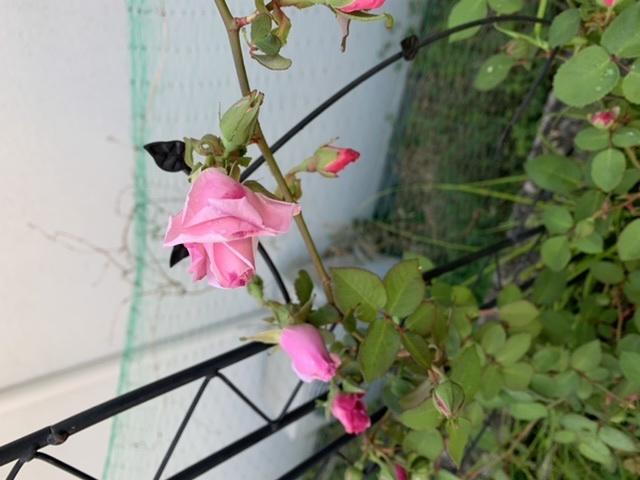 つるバラの名前が分からず困っています。 枝は細めでトゲは無いです。 よろしくお願いします。